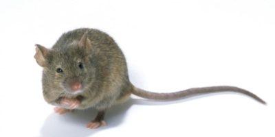 Les principales maladies transmises par les souris et rongeurs